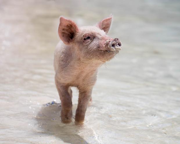 Ewiges Aktien-Börsenspiel von TraderFox: Schwein gehabt im doppelten Sinne – Interview mit Jules Rockefeller