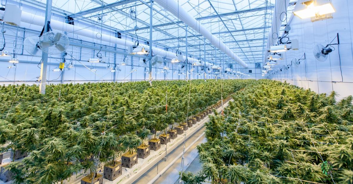 Die Cannabis-Branche: Nachhaltige Trendwende oder Bull Trap - Eine Analyse des Marktführers Canopy Growth